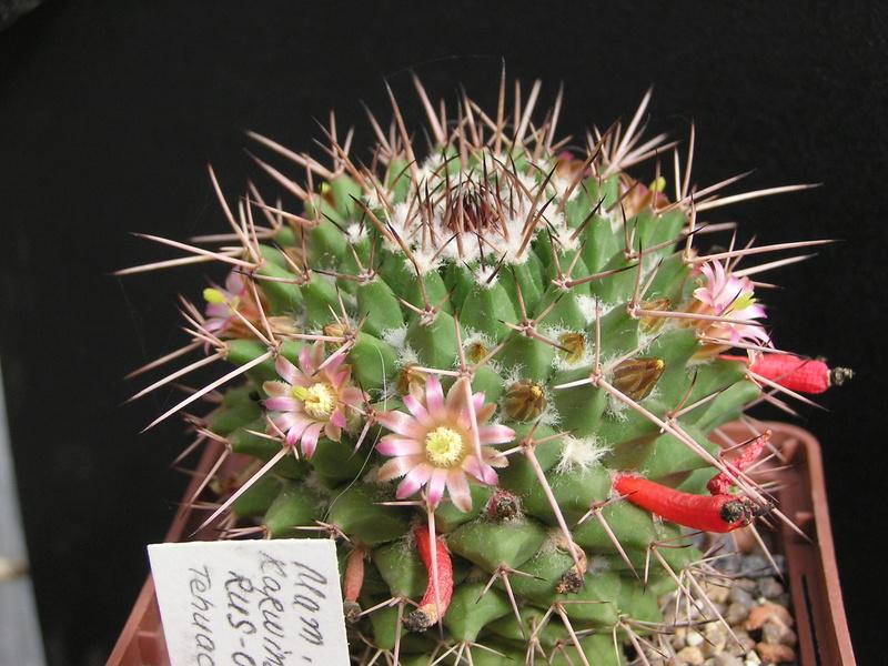 Cactus under carbonate 15 M_carn10