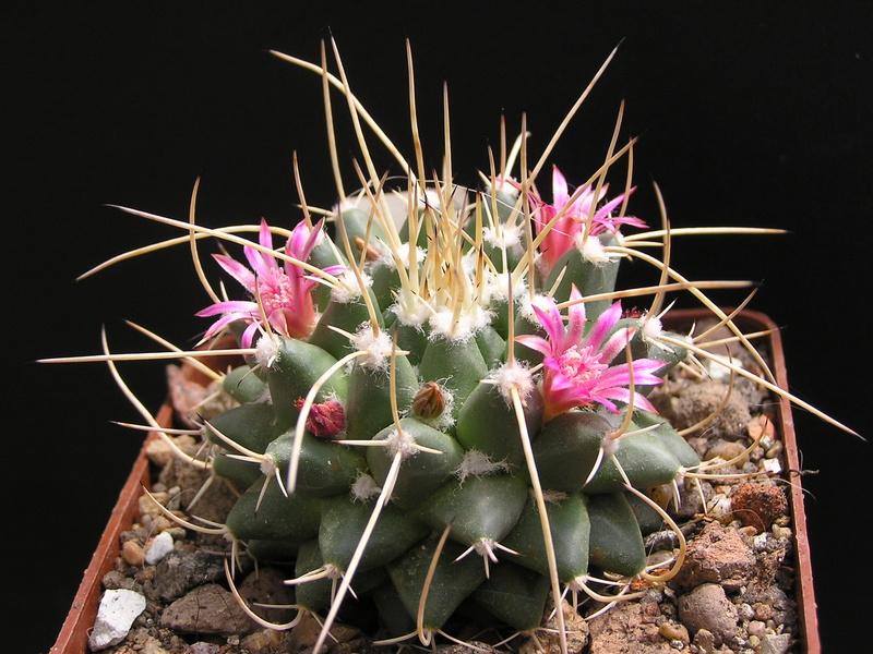 Cactus under carbonate 15 M_cent11