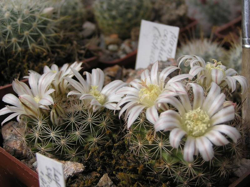 Cactus under carbonate 15 M_coah10