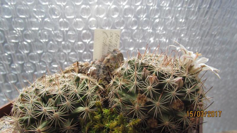 Cactus under carbonate 15 M_coah11