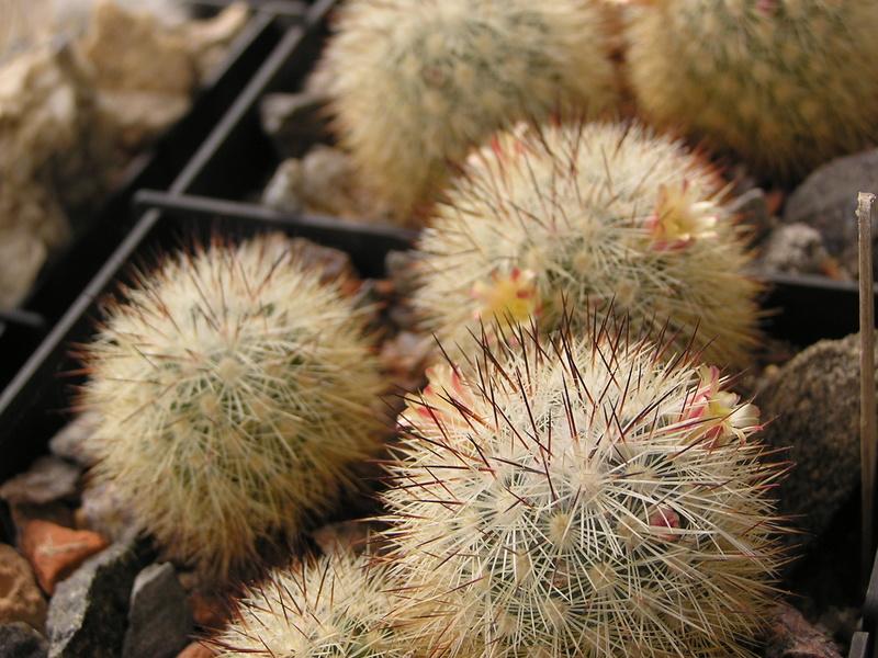 Cactus under carbonate 15 M_dens10