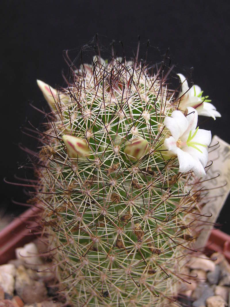 Cactus under carbonate 15 M_dioi10