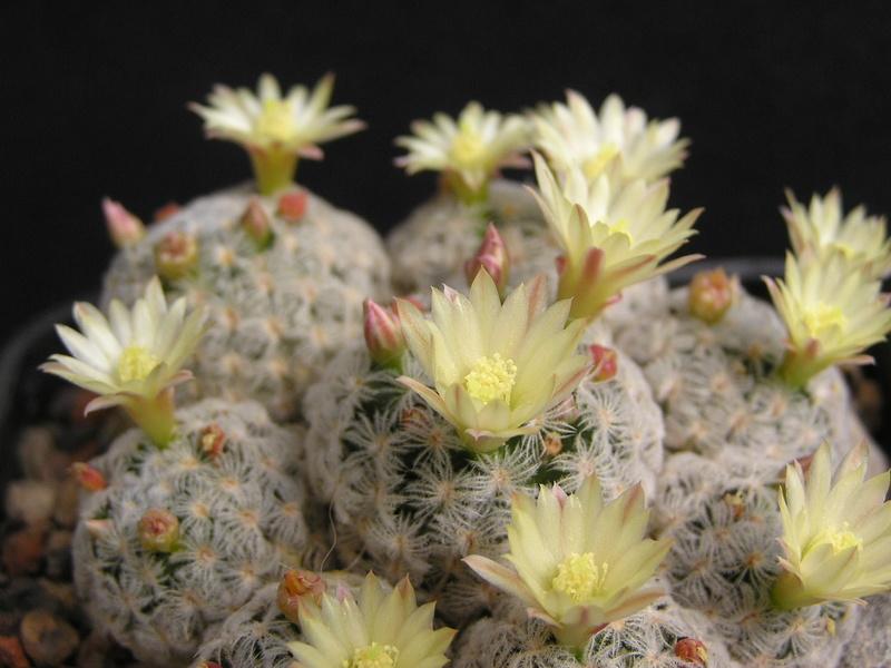 Cactus under carbonate 15 M_duwe10