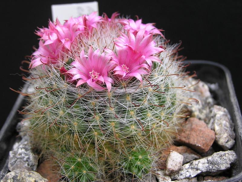 Cactus under carbonate 15 M_eryt10