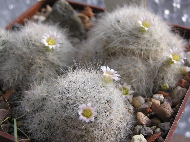 Cactus under carbonate 15 M_glas11