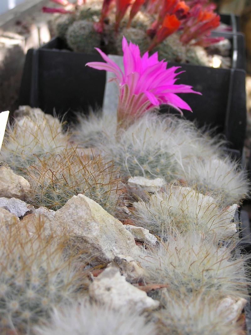 Cactus under carbonate 15 M_guel10