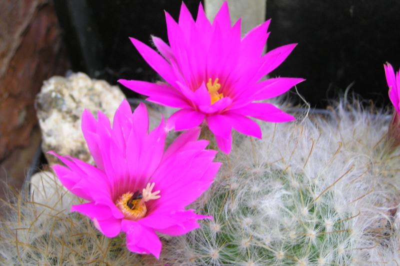 Cactus under carbonate 15 M_guel11