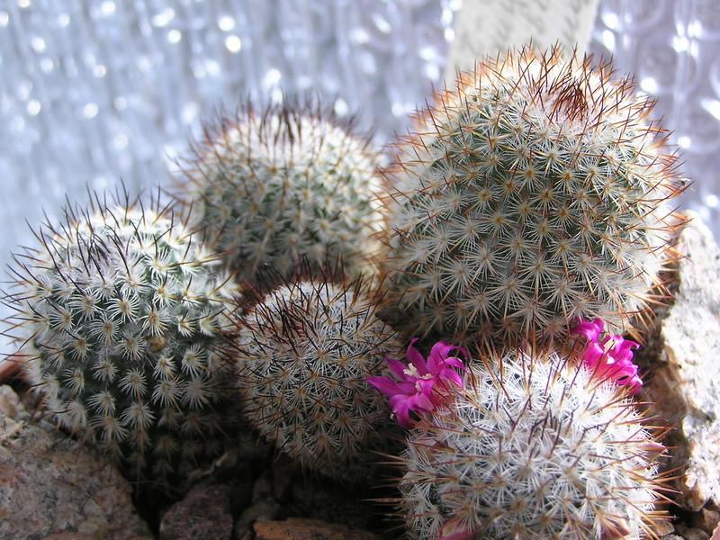 Cactus under carbonate 15 M_haag10