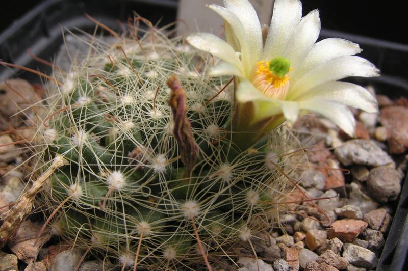Cactus under carbonate 15 M_heid10