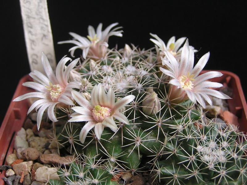 Cactus under carbonate 15 M_heyd10