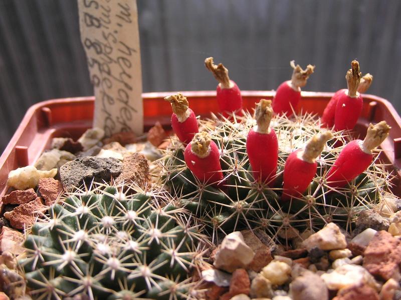 Cactus under carbonate 15 M_heyd11