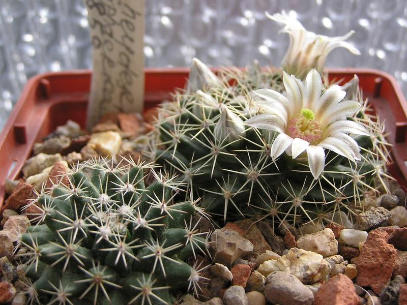 Cactus under carbonate 15 M_heyd13
