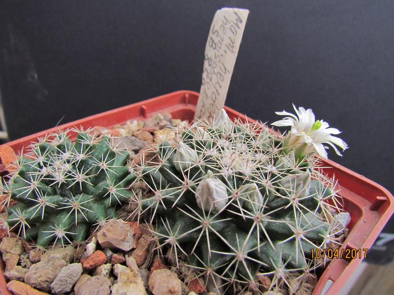 Cactus under carbonate 15 M_heyd14