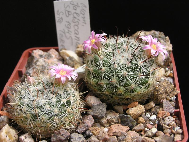 Cactus under carbonate 15 M_jali11