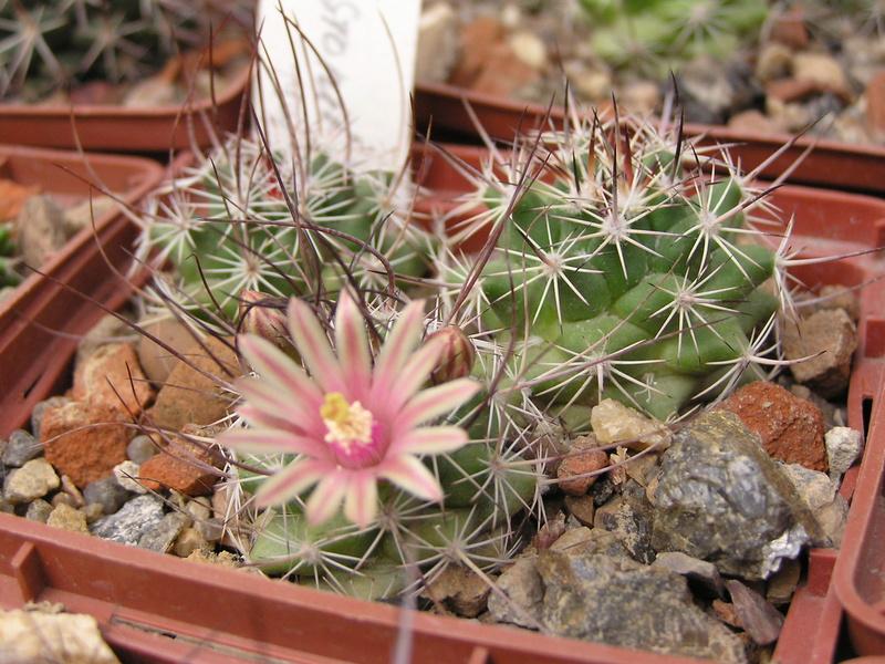 Cactus under carbonate 15 M_john10