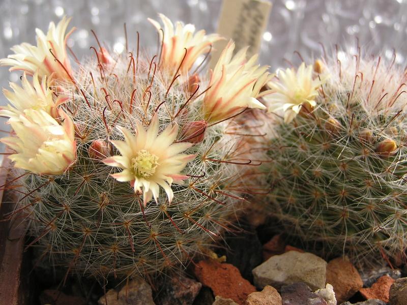 Cactus under carbonate 15 M_kneb10