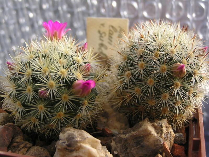 Cactus under carbonate 15 M_laui10
