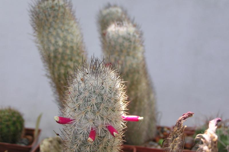 Cactus under carbonate 15 M_leon11