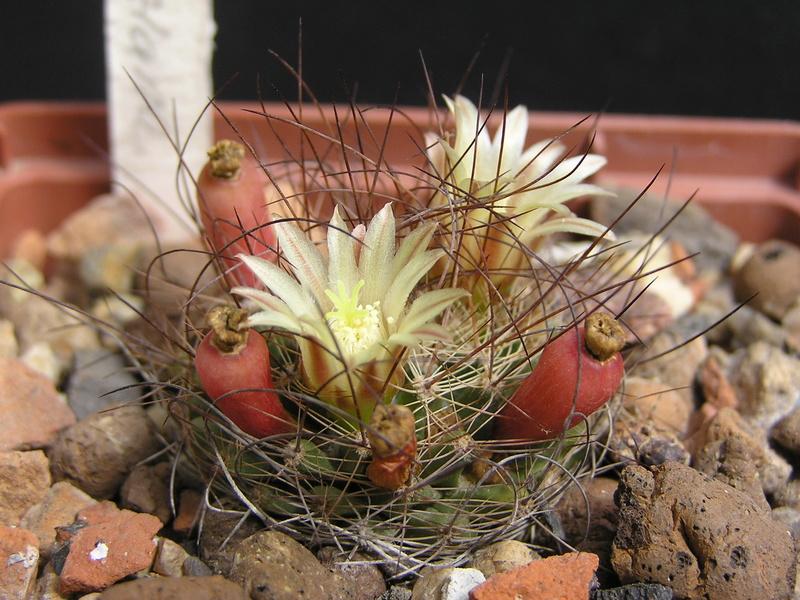 Cactus under carbonate 15 M_lewi10