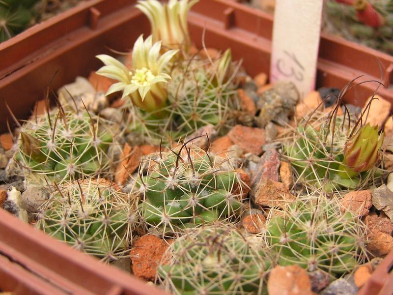 Cactus under carbonate 15 M_lewi11
