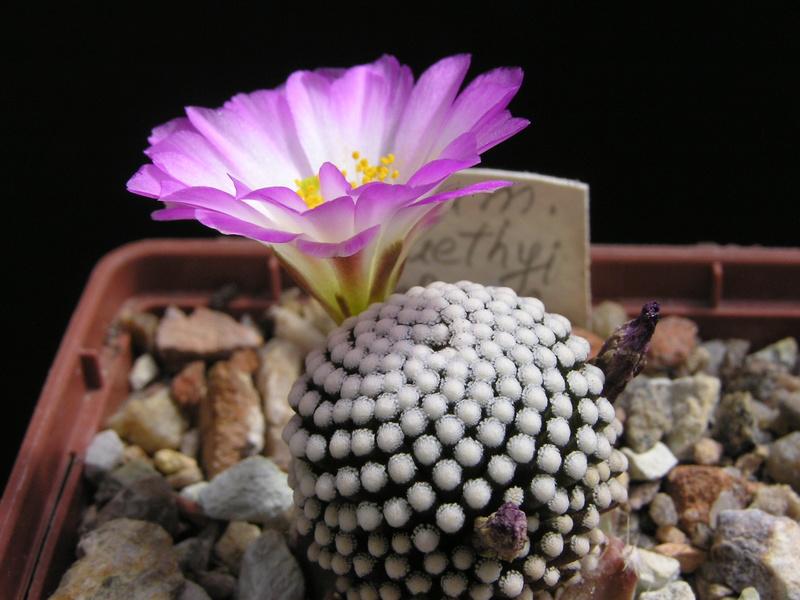Cactus under carbonate 15 M_luet10