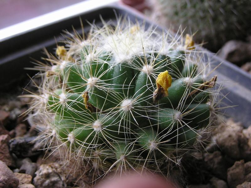 Cactus under carbonate 15 P1010013