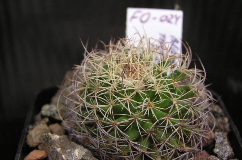 Cactus under carbonate 15 P1010017
