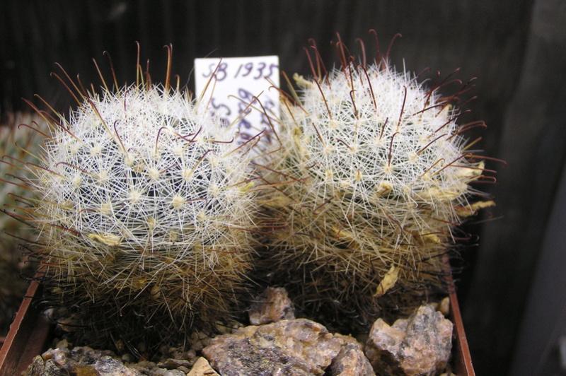 Cactus under carbonate 15 P1010019