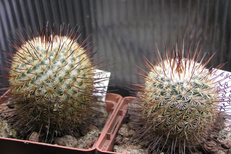 Cactus under carbonate 15 P1010021