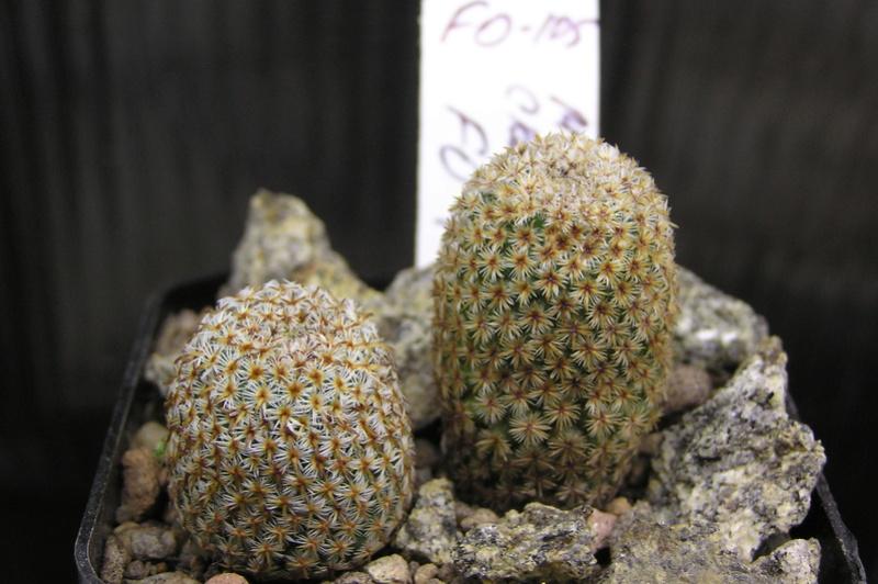 Cactus under carbonate 15 P1010023