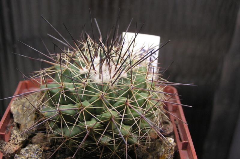 Cactus under carbonate 15 P1010024