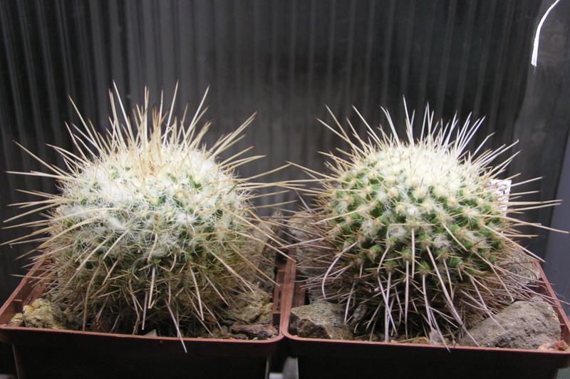 Cactus under carbonate 15 P1010025