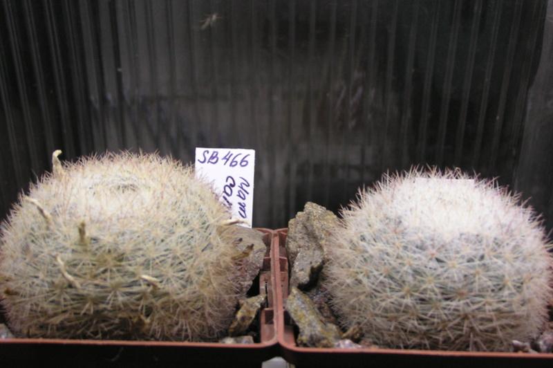 Cactus under carbonate 15 P1010026