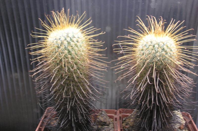 Cactus under carbonate 15 P1010027