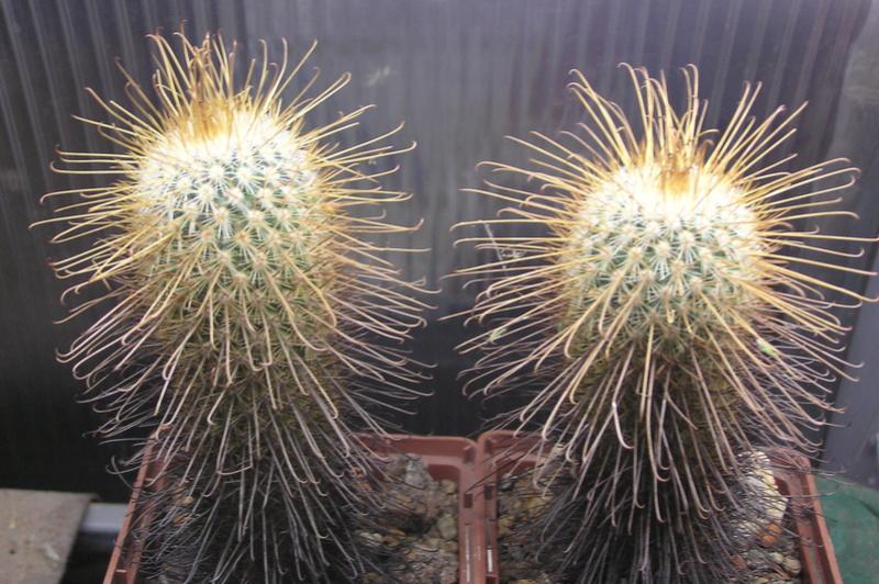 Cactus under carbonate 15 P1010029