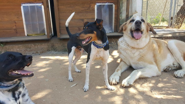 Canis Thor(Gedeeltelijke adoptie) 19850710