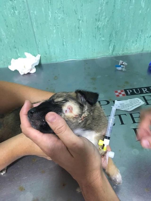 GEADOPTEERD   pup Tokyo met gebroken kaak. 712