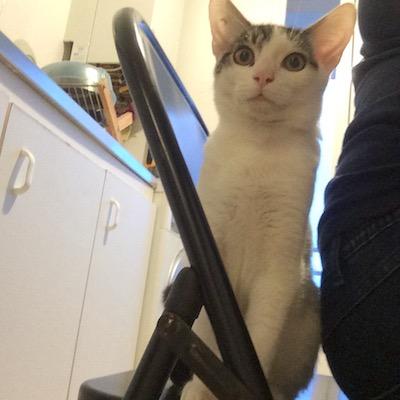napoleon - Napoléon, chaton européen blanc et tigré, né le 14/02/2017 Img_4315