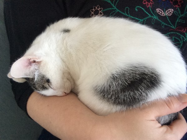 napoleon - Napoléon, chaton européen blanc et tigré, né le 14/02/2017 Img_4417