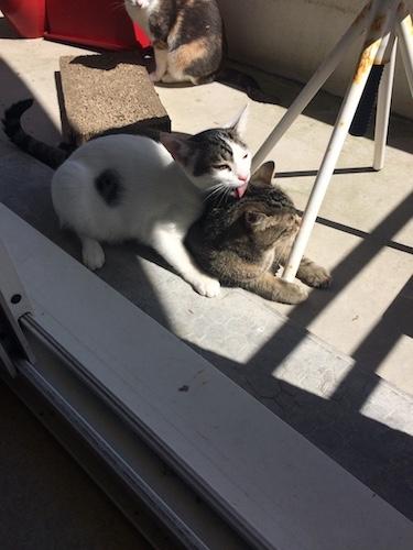 napoleon - Napoléon, chaton européen blanc et tigré, né le 14/02/2017 Img_4420