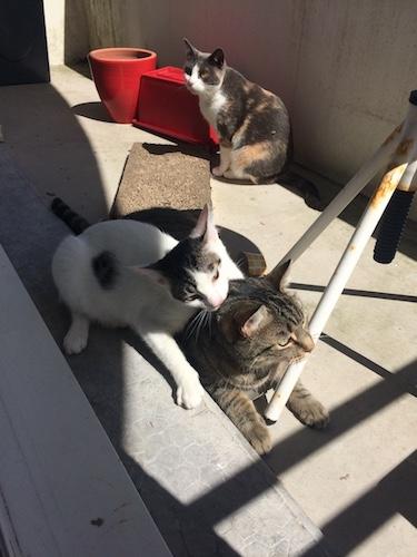 napoleon - Napoléon, chaton européen blanc et tigré, né le 14/02/2017 Img_4421