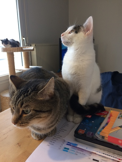 napoleon - Napoléon, chaton européen blanc et tigré, né le 14/02/2017 Img_4615