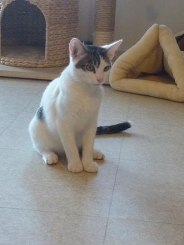 napoleon - Napoléon, chaton européen blanc et tigré, né le 14/02/2017 P1040913