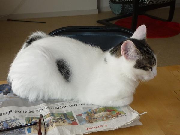 napoleon - Napoléon, chaton européen blanc et tigré, né le 14/02/2017 P1050013