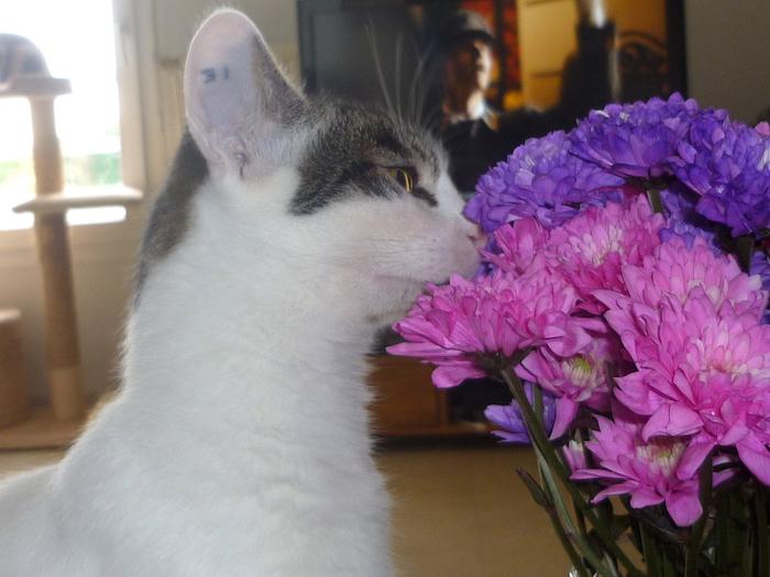 napoleon - Napoléon, chaton européen blanc et tigré, né le 14/02/2017 P1050026