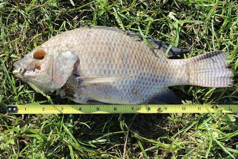 Fishing Report - Lake Chapala Tilapi10