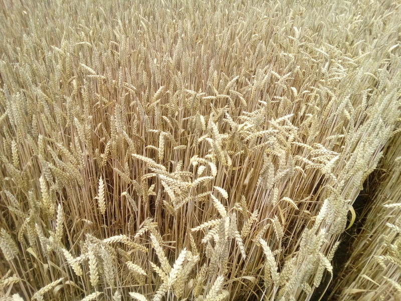 suivi des blés tendre 2017 - Page 12 Img_2011