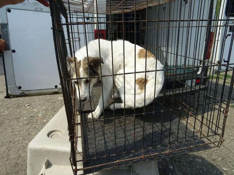Transfert de 12 + 3 chiens de la fourrière de Piatra Neamt vers Bucarest pour le refuge d'Ellen Img-2063