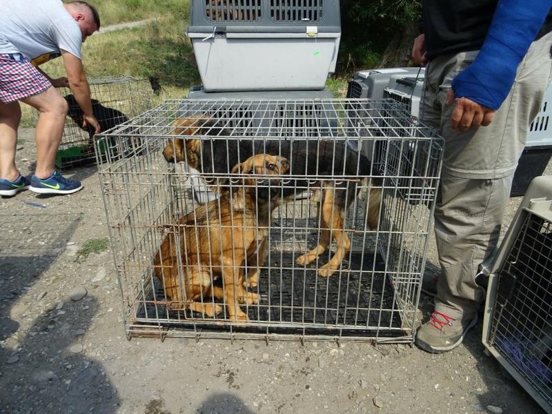 Transfert de 12 + 3 chiens de la fourrière de Piatra Neamt vers Bucarest pour le refuge d'Ellen Img-2074