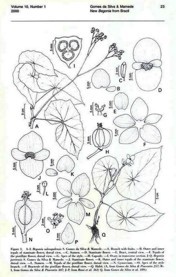 Begonia salesopolensis (rampant et grimpant) Novon_10